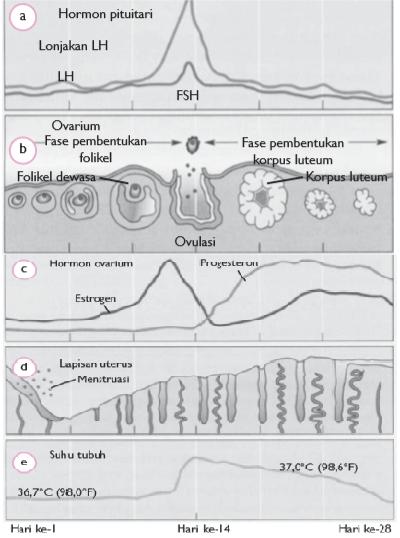 Bagan Siklus Menstruasi : bagan, siklus, menstruasi, Sistem, Reproduksi, Manusia, (Artikel, Materi, SMP/MTs, Kelas