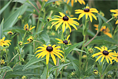 July 27, 2018 Our Rudbeckia hirta is in full bloom