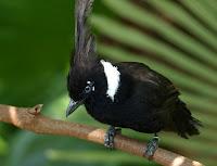 Burung Cililin Warna Hitam Dewasa Gacor