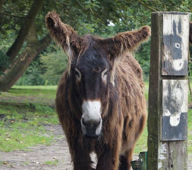 Naturgenuss pur: Der Tierpark Arche Warder. Im Rahmen der Rallye des Naturgenussfestivals haben wir auch die zotteligen Poitou-Esel kennengelernt.