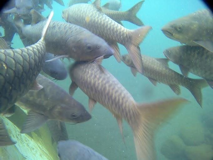 Ikan Dewa Penghuni Wisata Cibulan