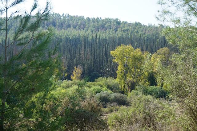 יער אשתאול ליד מסילת ציון