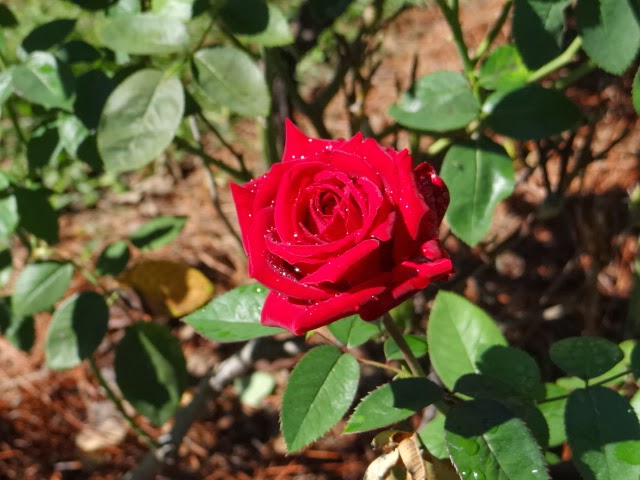 Roses In Garden: Walkabout With Wheels Blog: The Municipal Rose Garden In