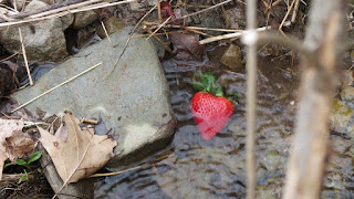Strawberry in the East