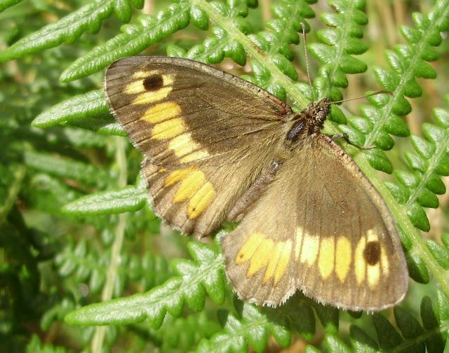 Arethusana arethusa