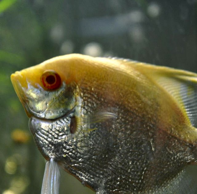 Fish: Albino Pearlscale Angelfish Red Eye Pictures