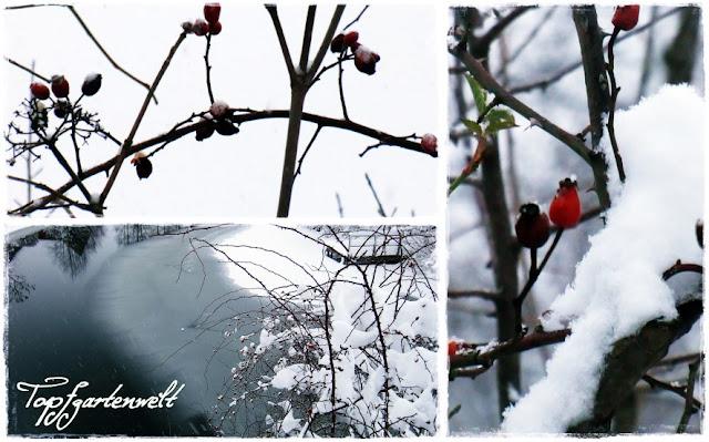 Gartenblog Topfgartenwelt Winter: verschneite Hagebutten
