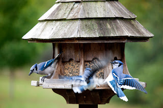 Photo of Blue Jays at a Bird Feeder