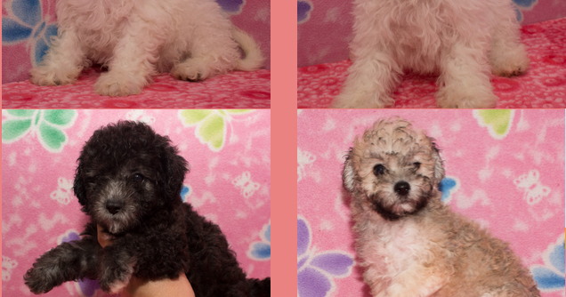 Buy Malshi  And Maltese Puppies In Easy Rates