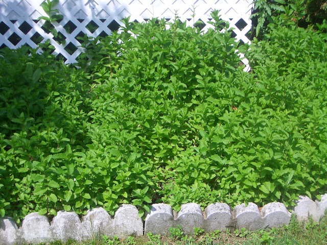 fresh mint plants growing in the yard