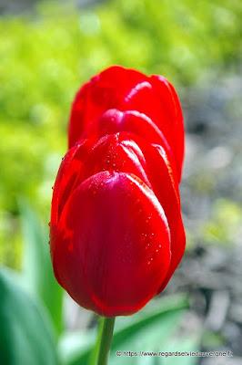 Photo de tulipe
