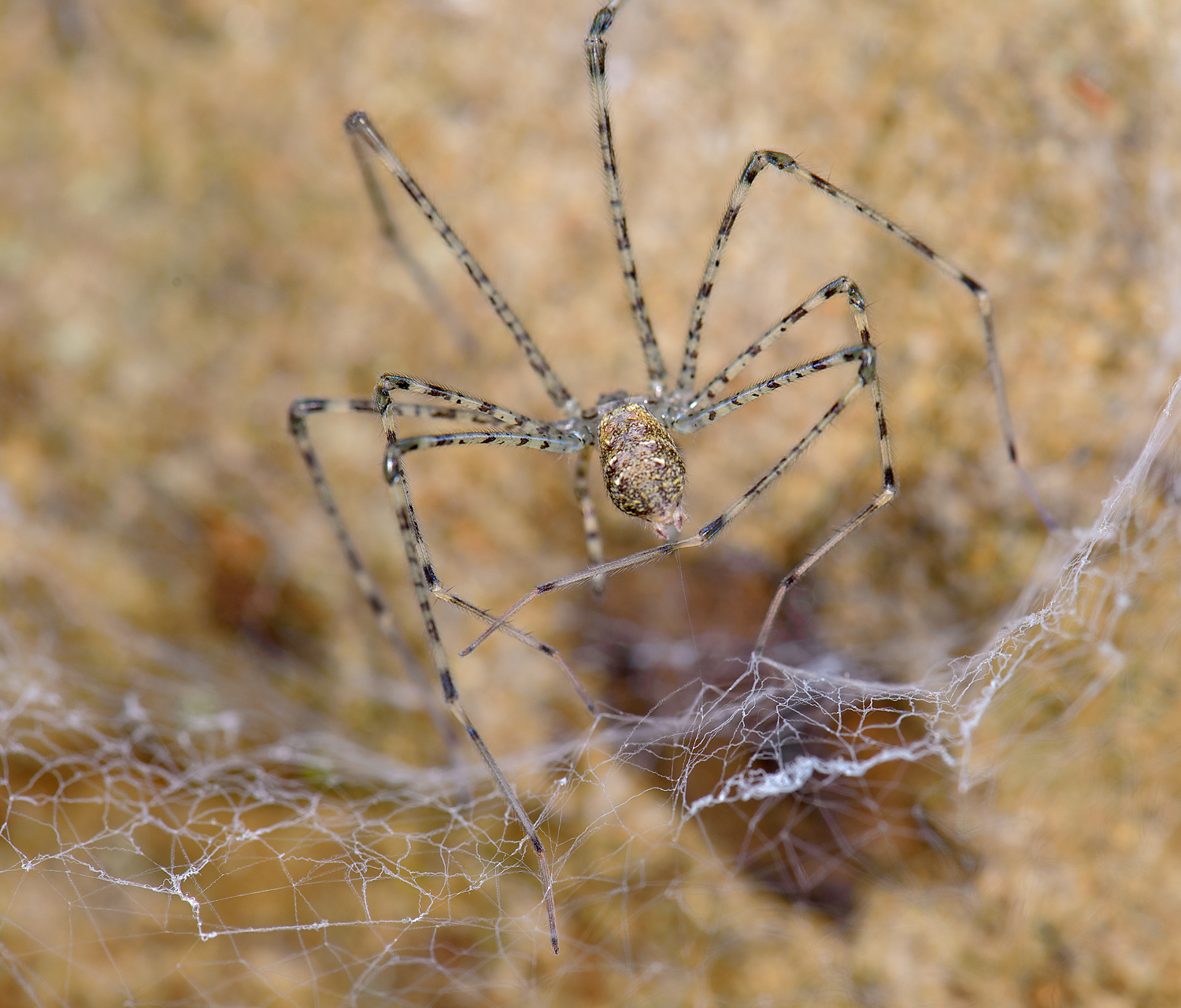 Real Monstrosities: Lampshade Spider
