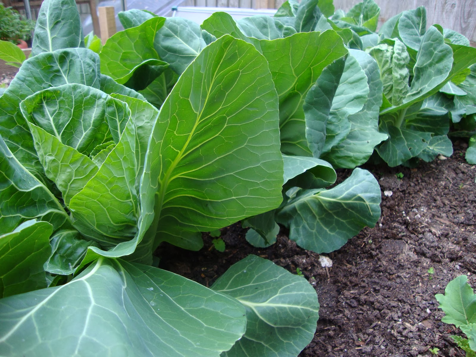 Field grown spring cabbage