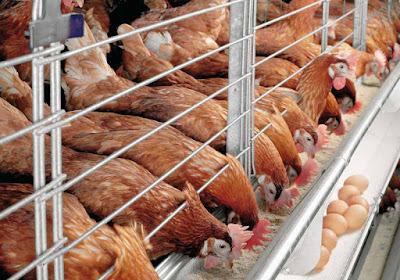 Pengertian, Tujuan Biosecurity Peternakan (Ayam, Unggas,