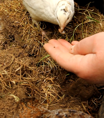 organic gardening using quail for slug control