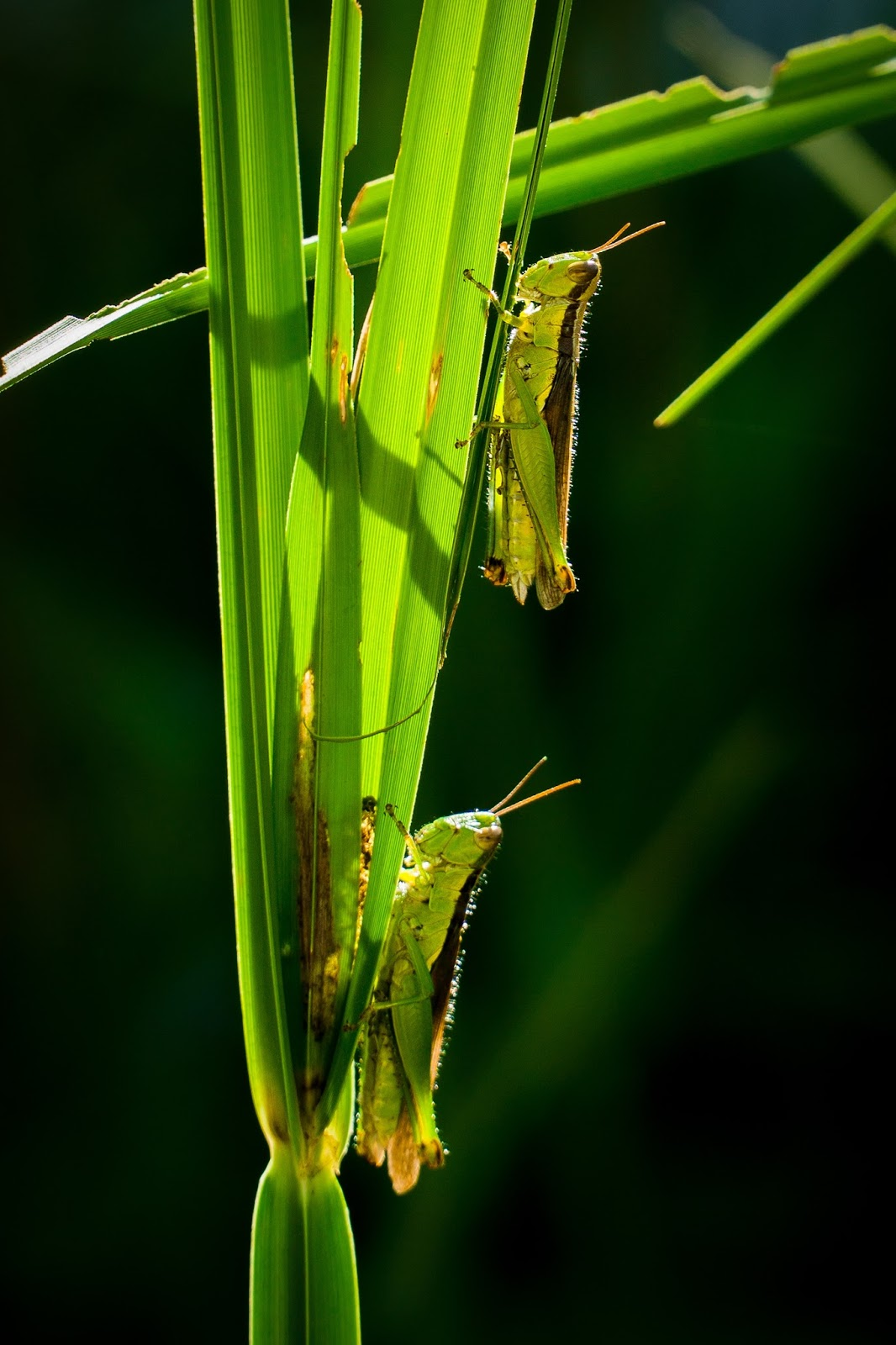 Picture of a pair of grasshoppers climbing grass.