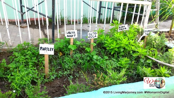 Various herbs at Malaban Elementary School