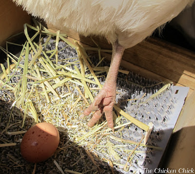 Sand dries up droppings quickly and keeps chickens' feet cleaner than any other litter type. Chickens that walk into a nest box with clean feet do not soil the nest or eggs with mud or droppings that they walked through enroute to the nest box.