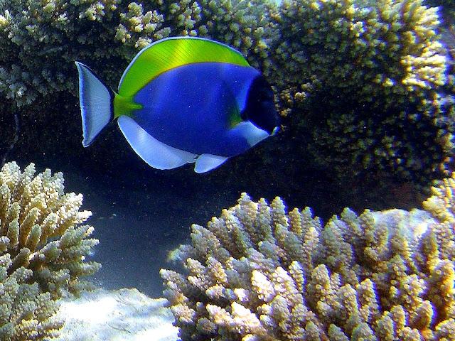 powder-blue surgeonfish, chagos, salomon archipelago, diego garcia