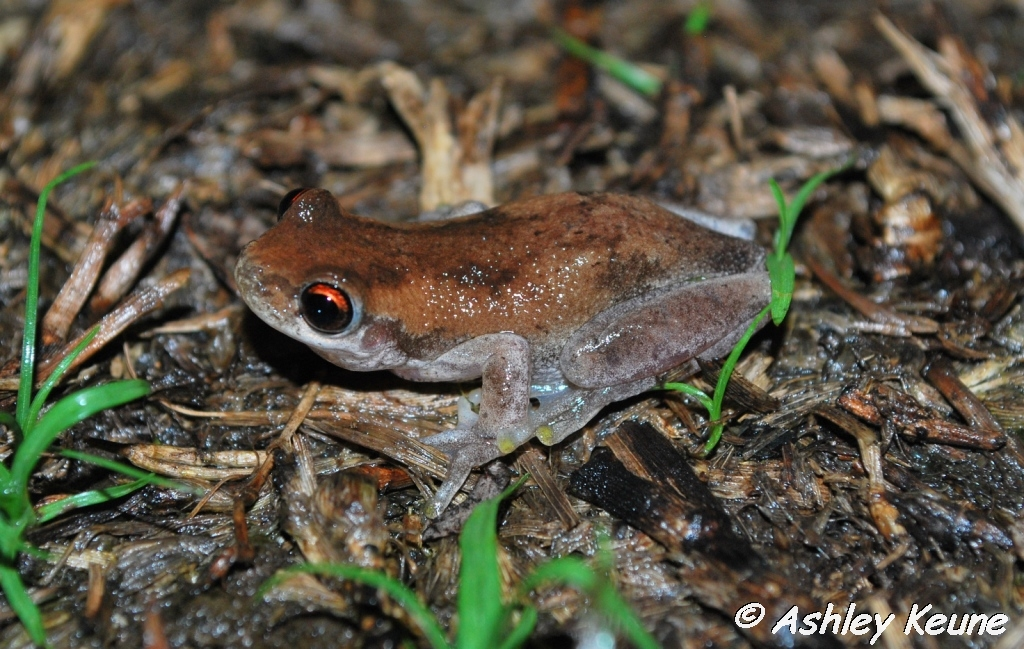 Australian Frogs Photography: KEUNEA PHOTOGRAPHY: Frogs of
