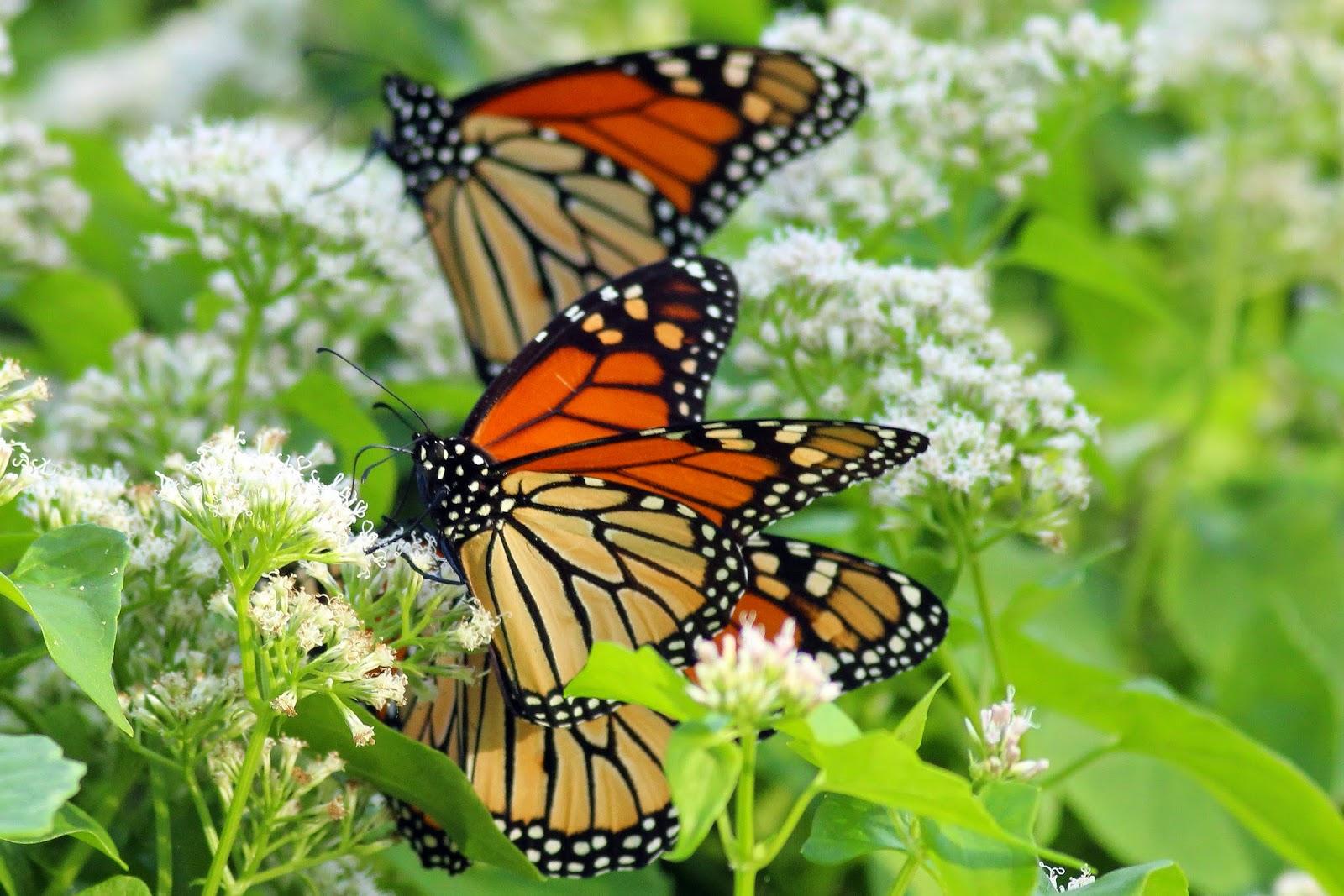 Dallas Trinity Trails Migrating Monarchs At Big Spring