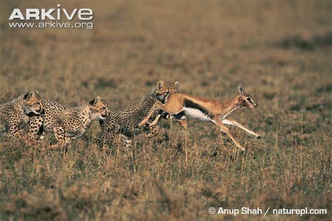 Cheetah chasing Antelope