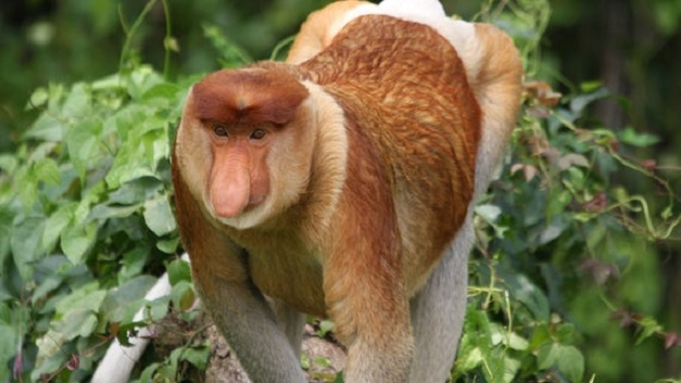 Protecting proboscis monkeys from deforestation