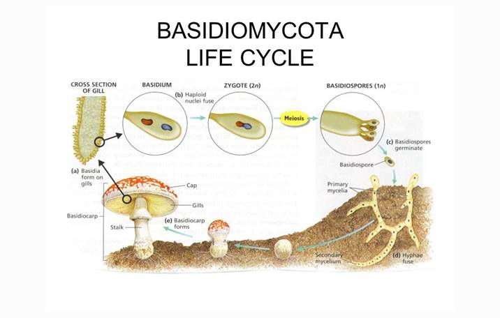 Cara reproduksi basidiomycota asexual reproduction