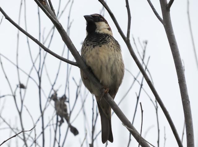 Spanish Sparrow - Golf Las Americas, Tenerife