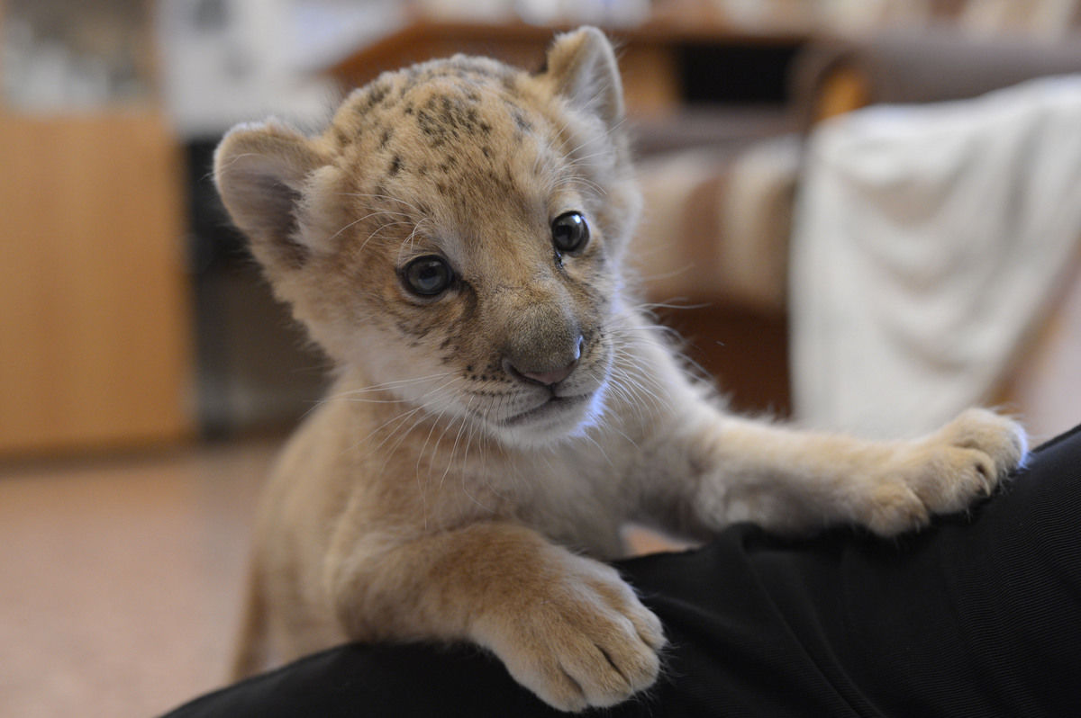 The world's first Liliger born at Russian zoo (20 pics ...