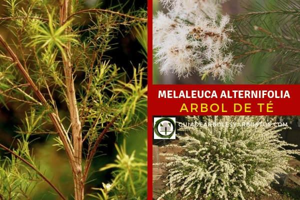 Arbol de Te, Melaleuca alternifolia, tiene otros usos como mitigar las manchas en la piel o para el cuidado del cabello