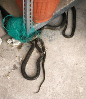 What I found - two snakes, trapped - one dead, sadly