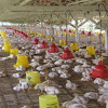 Usaha Ternak Ayam Potong Masih Sangat Menjanjikan, Ini Alasannya