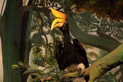 "Diorama Rangkong Si Burung Dengan ""Tanduk Sapi"" - Museum Satwa, jatim Park #14"