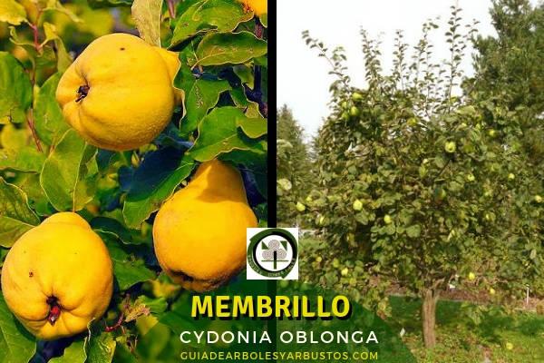 El membrillo, Cydonia oblonga, es un árbol pequeño y retorcido que suele encontrarse en suelos arcillosos