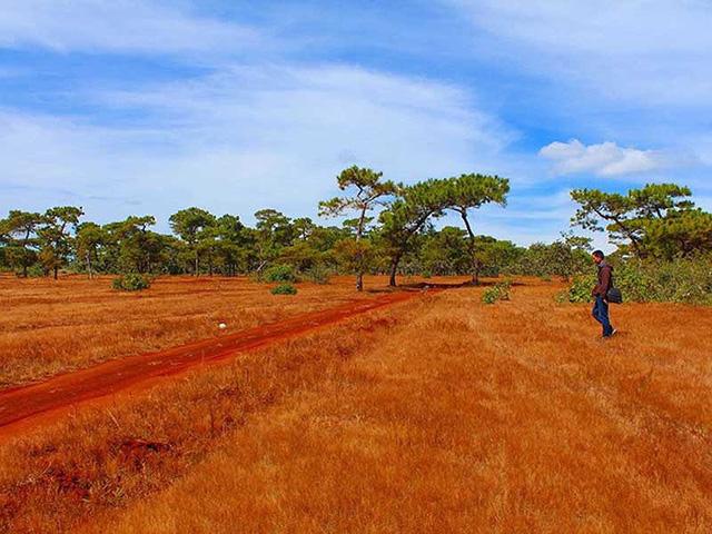Gia Lai: phá rừng thông 4000 cây, đồi cỏ hồng làm sân golf