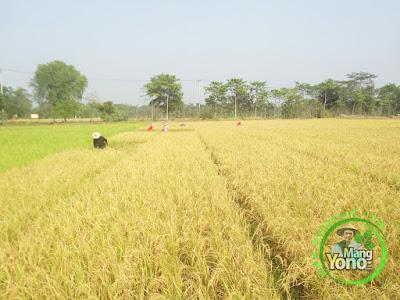 FOTO 2 : pemanenan padi TRISAKTI umur 73 HST