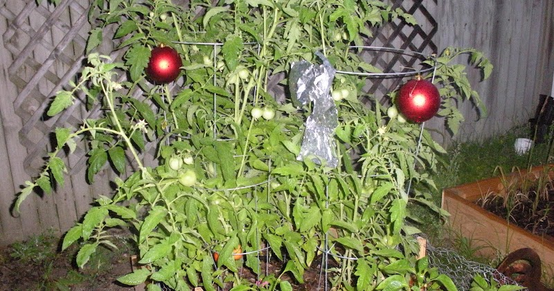 A Hint Of The Hess House Tomatoes And Keeping The Birds Away