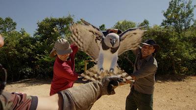 Com câmeras acopladas em uma harpia, Cristian Dimitrius tenta registrar imagens sob a perspectiva da ave voando dentro de uma floresta - Divulgação