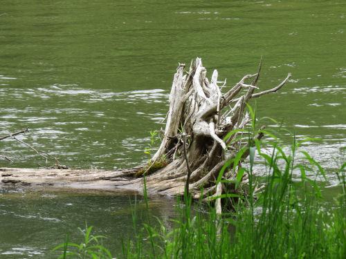 stump in river