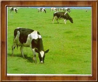 gambar peternakan sapi