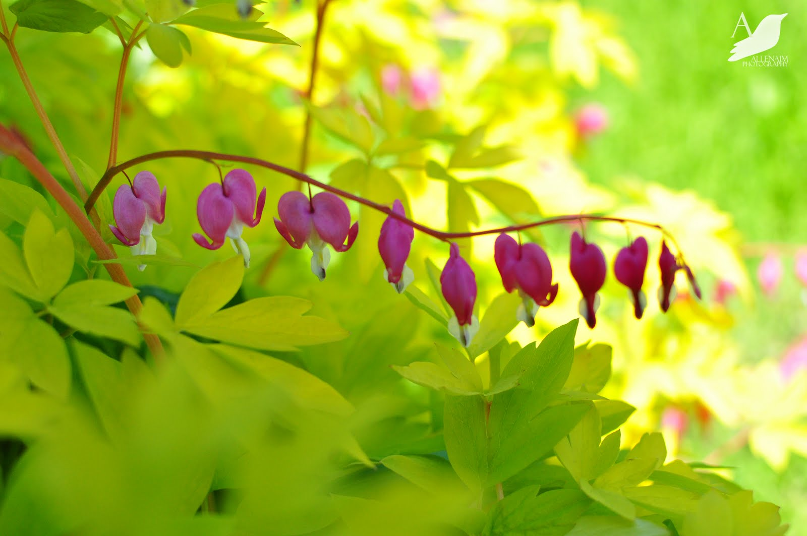 Transplanting and Propagating Bleeding Heart Dicentra at A Nest for All Seasons