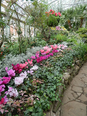 2018 Allan Gardens Conservatory Winter Flower Show massed cyclamen and ivy by garden muses--not another Toronto gardening blog