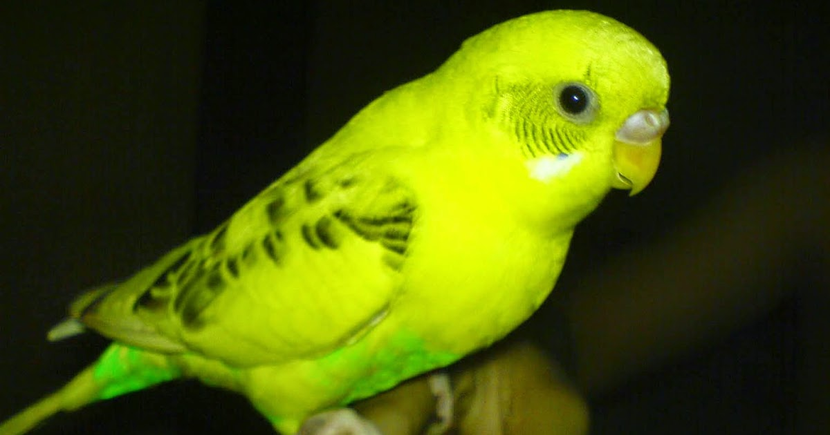 Cara Merawat Burung Parkit Harian Lengkap