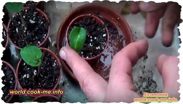 Как вырастить дома Цикламен из семян.?