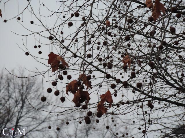 Platany przed nadejściem wiosny