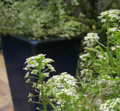 Alyssum against cobalt blue pot