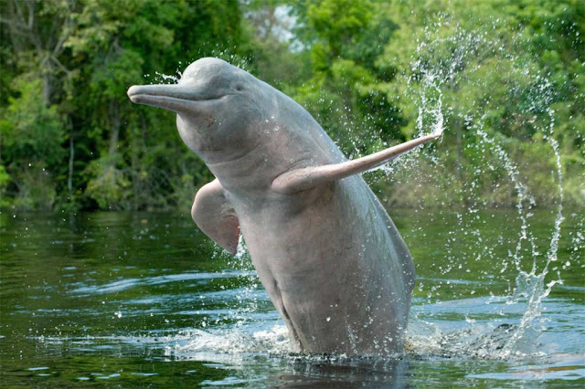 生長在淡水的亞馬遜粉紅海豚,最常出現在雨後,可我們的3天漂流天氣好得很。-圖:WWF