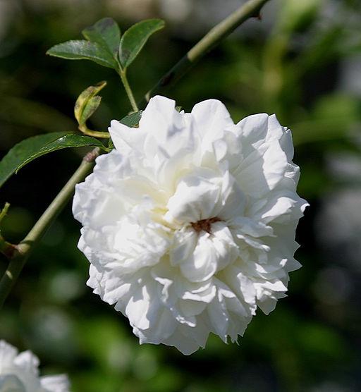 Growing Roses In Florida Choosing A Rose Rootstock
