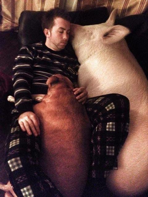 Đôi vợ chồng nuôi nữ thần lợn khổng lồ nặng 300kg trong nhà